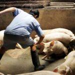 Carne di maiale avvelenata con metalli pesanti diffusa sul mercato