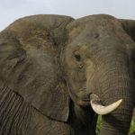 Moda cinese pericolosa per gli elefanti