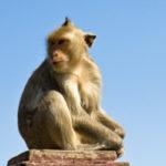 Scimmie cavie dalla Cina a Monza per vivisezione
