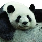 Il segreto della Cina: regalare i panda per fare affari d'oro