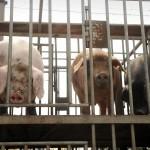 Cina : Troppi antibiotici negli allevamenti cinesi causano pericolosa resistenza batterica