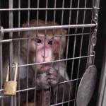 Peta Asia: Appello per bloccare le crudeli spedizioni  dalla Cina di primati destinati ai laboratori.