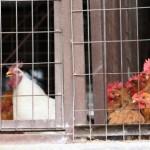 HONG KONG-CINA: Influenza aviaria H7N9, la prima vittima ad Hong Kong. Viveva a Shenzhen