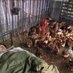 HONG KONG- CINA-Influenza aviaria: proibita la vendita di polli a Hong Kong, Shanghai e nel Zhejiang