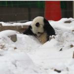 Panda muore a causa di maltrattamenti in uno zoo cinese