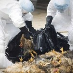 Autorità cinesi ammettono: l'influenza aviaria si sta diffondendo tra le persone