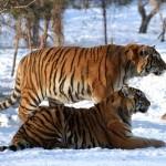 """Cina: i """"giochi"""" dei potenti cinesi, oltre 10 tigri macellate"""