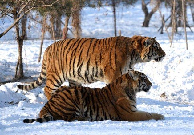 """Cina: i """"giochi"""" dei potenti cinesi, oltre 10 tigri macellat..."""