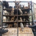 Ogni giorno in Cina, 30mila cani vengono uccisi a bastonate – VIDEO