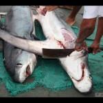 Cina – Orrore nei mari: quando il predatore diventa preda,  torturato solo per le sue pinne.(Video)