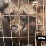 CINA-GEAPRESS  : Una nuova investigazione condotta da Animal Equality e Last Chance for Animals.(Video)