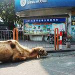 Cammelli amputati per chiedere l'elemosina in Cina