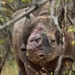 Crescente domanda di corno di rinoceronte soprattutto in Cina, fa  strage di rinoceronti e mette in ginocchio l'economia keniana
