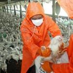 Aviaria tra i polli importati dalla Cina. Caso isolato in un allevamento a Rovigo.