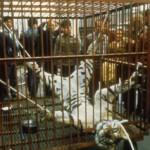 Cresce il commercio illegale di tigri e felini selvatici fra Myanmar e Cina