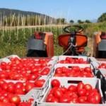 COLDIRETTI: allarme import pomodoro dalla Cina, aumentati del 680%