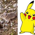 Strage di Pikachu in Cina, per il governo è un parassita da abbattere