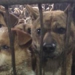 Yulin: via al Festival della carne di cane, con più clienti del solito