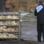 Scienziati lanciano allarme aviaria: Si rischia pandemia,il virus H7N9 si sta diffondendo in Cina