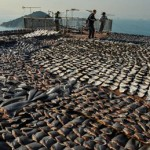 Ecuador, sequestrate 200mila pinne di squalo destinate alla Cina (Video)