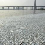 Cina, migliaia di pesci morti in fiume vicino Tianjin