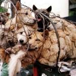 Cina, contro cani non certificati quartiere autorizza squadre della morte.