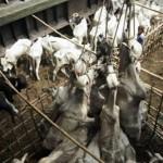 Invisibili, i viaggi di morte di milioni di animali dalla Romania alla Cina