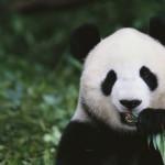 La Cina e la diplomazia del panda