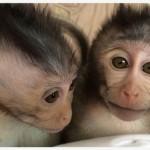Sperimentazione shock in Cina,  animali modificati con geni umani per combattere autismo e Alzheimer.
