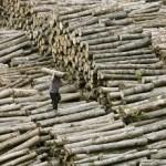 Il legno illegale è un business come le armi: la Cina il principale esportatore mondiale