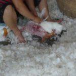 Cina spiumaggio oche vive, una vita di dolore: denuncia di PETA.