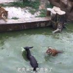 Cina, asino vivo dato in pasto alle tigri