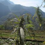 Cannabis, la Cina uno dei principali produttori al mondo. E il governo di Pechino regolamenta il business
