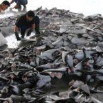 Caccia agli squali: gli attivisti di Sea Shepherd portano alla polizia di Timor-Leste una barca di proprietà cinese