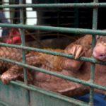 CINA : il traffico illegale di pangolini inaugura nuove rotte