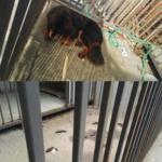 Cane lasciato in gabbia senza cibo né acqua: denunciato il proprietario cinese