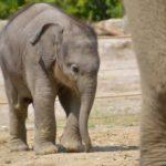 Separati dalle madri usando gli elicotteri, 35 elefantini sono stati catturati per venderli in Cina