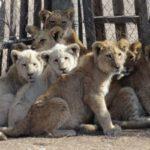 """Tigri e leoni nati deformi negli allevamenti industriali creati per la """"medicina"""" cinese tradizionale"""