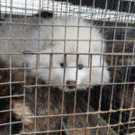 Carcasse vendute per consumo umano, nuovo orrore negli allevamenti di pelliccia cinesi (e violazioni delle norme anti covid).